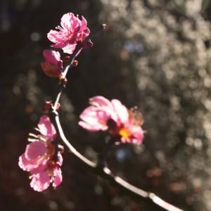 Cherry Blossom, New Zealand