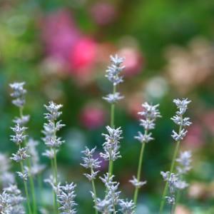 Wild light blue flowers, Germany