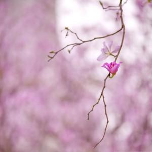 bauhinia-pink