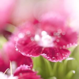 red-flower-dew