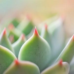 succulent-pastel