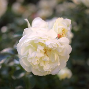 york-white-rose